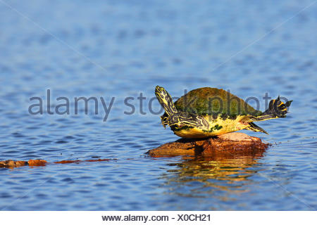 Florida redbelly turtle, Florida red-bellied turtle (Pseudemys rubriventris nelsoni, Chrysemys nelsoni, Pseudemys nelsoni), sunbathing on a stone, USA, Florida, Viera Wetlands - Stock Photo