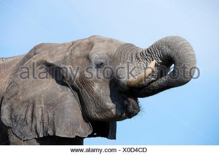 African elephant portrait (Loxodonta africana) drinking at a watehole. Hwange National Park, Zimbabwe. - Stock Photo