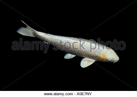 Koi in a pond - Stock Photo