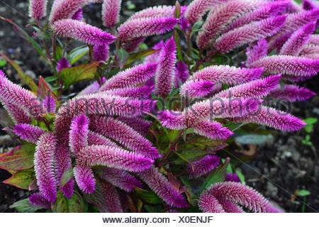 Flowering plumed cockscomb, Celosia argentea, in a garden. - Stock Photo