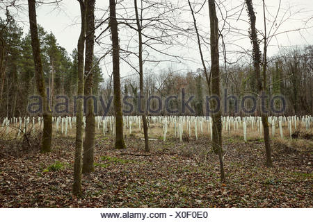 Forest with trees and growth shelters for protecting the plants - Stock Photo