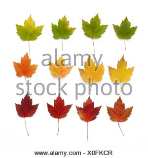 Autumn leaves in rows, studio shot. - Stock Photo