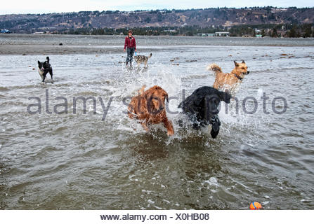 Dog sitter and a group of dogs in a 'play group' run and play at Bishop's Beach, Homer, Kenai Peninsula, Southcentral Alaska - Stock Photo