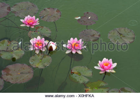 Pink water lilies (Nymphaea sp.), Switzerland - Stock Photo