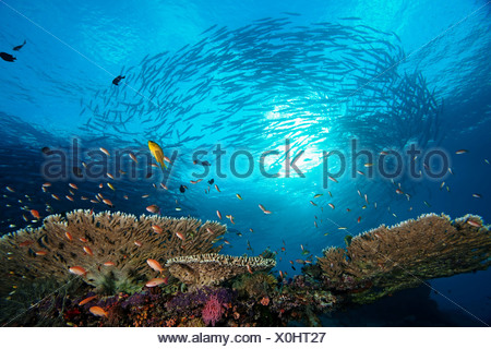 A school of anthias over table coral, with chevron barracudas schooling in the background, Sipadan, Sabah, Malaysia. - Stock Photo