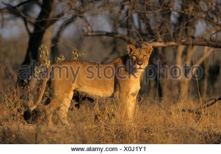 Lioness (Panthera leo), Sabi Sabi, Greater Kruger National Park, South Africa, Africa - Stock Photo