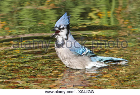 Blue Jay, Cyanocitta cristata, in a pond, Saskatoon, Saskatchewan, Canada - Stock Photo
