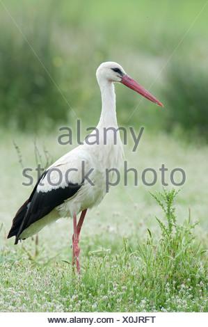 White Stork Ciconia ciconia Lesvos Island Greece - Stock Photo