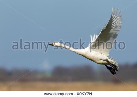Bewick's Swan, Tundra Swan (Cygnus bewickii, Cygnus columbianus bewickii). Adult in flight. Germany - Stock Photo