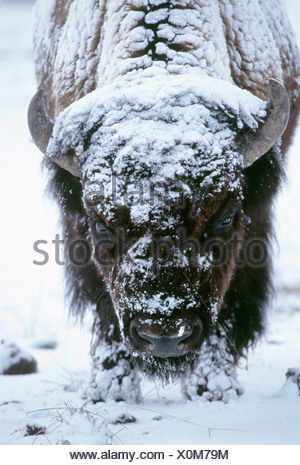American bison, buffalo (Bison bison), potrait in snow, largest mammal of Nort-America, USA, Wyoming, Yellowstone NP - Stock Photo
