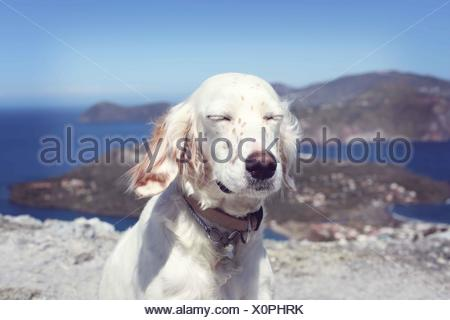 Italy, Sicily, Lipari, English Setter sunbathing - Stock Photo