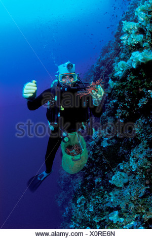 Diver crops Red Precious Coral, Corallium rubrum, Susac, Dalmatia, Adriatic Sea, Croatia - Stock Photo
