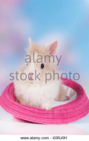 Dwarf Rabbit, Lionhead Rabbit White-and-brown rabbit pink hat - Stock Photo