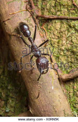 Bullet ant worker (Paraponera clavata) has the most painful sting of any insect. Central Caribbean foothills, Costa Rica. - Stock Photo