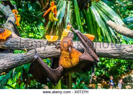 Large flying fox (Pteropus vampyrus), eating fruit, hanging in tree, captive, Singapore Zoo, Singapore - Stock Photo