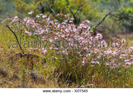 Fairy Duster (Calliandra eriophylla), blooming shrub, USA, Arizona, Sonoran - Stock Photo