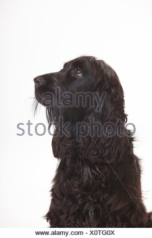 Portrait of black English Cocker Spaniel in front of white background - Stock Photo