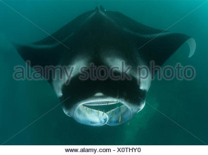 Giant manta - Fiji Islands - Stock Photo