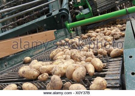 rheinische early potato - Stock Photo