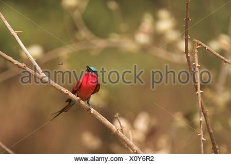 Southern Carmine Bee-eater - Merops nubicoides, Mana Pools National Park, Zimbabwe, Africa - Stock Photo
