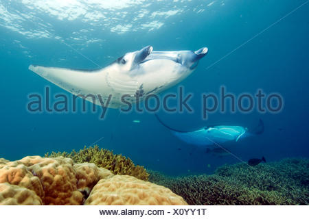 Manta, Yap, Micronesia / (Manta birostris) / Sting Ray, Devil's Ray - Stock Photo