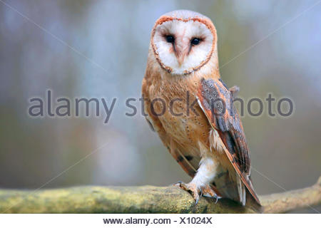 Barn owl (Tyto alba), on a branch, Germany, Bavaria, Niederbayern, Lower Bavaria - Stock Photo