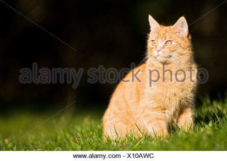 European shorthair cat is sitting in a meadow - Stock Photo