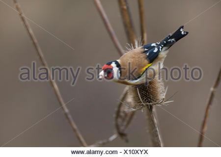 Eurasian goldfinch (Carduelis carduelis), feeding ob seeds of teazle, Germany - Stock Photo