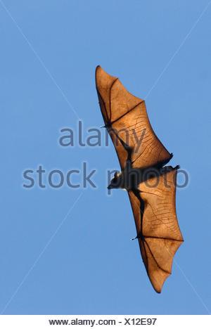 Madagascar fruit bat / flying fox (Pteropus rufus) Berenty Reserve, Madagascar - Stock Photo