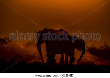 Two elephants, Loxodonta africana, dusting as the sun sets. - Stock Photo
