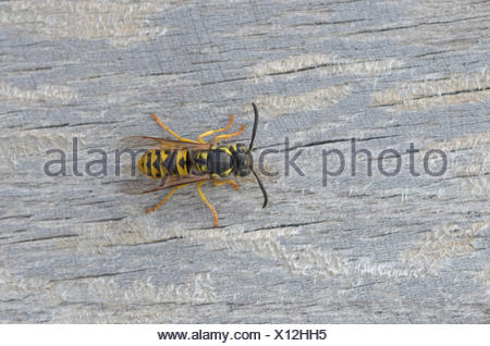 German wasp, Vespula germanica - Stock Photo