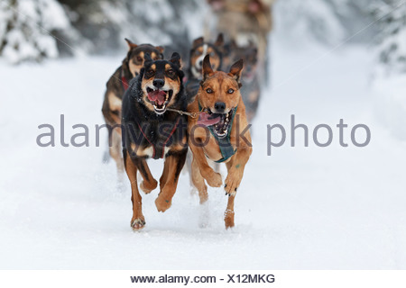 Marvin Kokrine's dogs running in the 2011 ExxonMobil Open, Southcentral Alaska, Winter - Stock Photo
