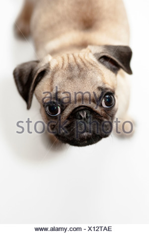 Puppy, pug, begging - Stock Photo