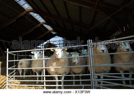 sheep in pen - Stock Photo