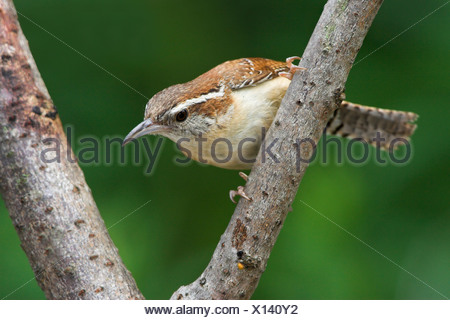 A Carolina Wren (Thryothorus ludovicianus) at the Rattray Marsh in Ontario, Canada. - Stock Photo