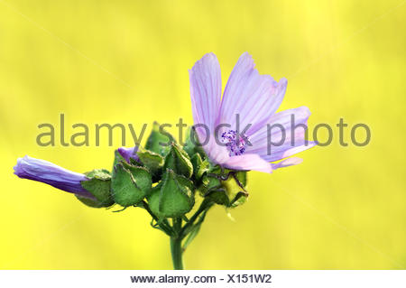 common mallow - Stock Photo