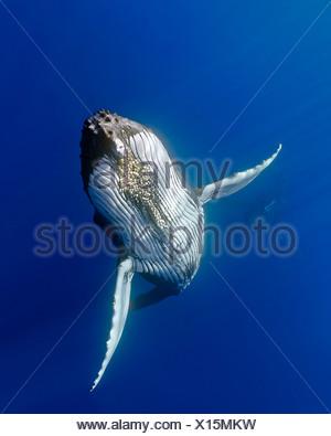 Humpback whale, (Megaptera novaeangliae) - Stock Photo