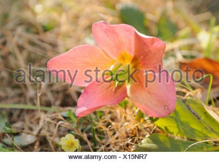 Christmas rose or Black hellebore (Helleborus niger) - Stock Photo