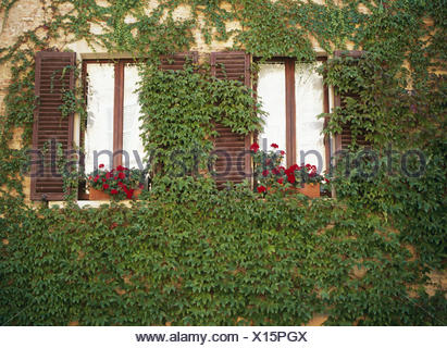 House facade, window, detail, ingrown, wild wine, house, facade, covered, plant, climbing plant, wine leaves, foliage, facade planting grass, overgrown, become overgrown, ornamental plants, vine plants, entwine themselves, outside, - Stock Photo