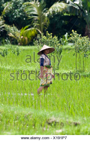 Female rice farmer working a rice field, rice paddy near Gunung Sari, Lombok Island, Lesser Sunda Islands, Indonesia - Stock Photo
