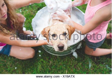 Labrador Retriever puppy in bucket looking up - Stock Photo