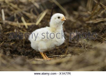 domestic fowl (Gallus gallus f. domestica), one week old free-range chicken, Germany - Stock Photo