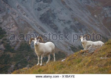 Two Dall Sheep on a ridge with mountain background, Mount Margaret, Denali National Park, Alaska - Stock Photo