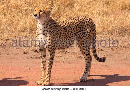 cheetah (Acinonyx jubatus), on the feed in savanna, Tanzania, Serengeti - Stock Photo