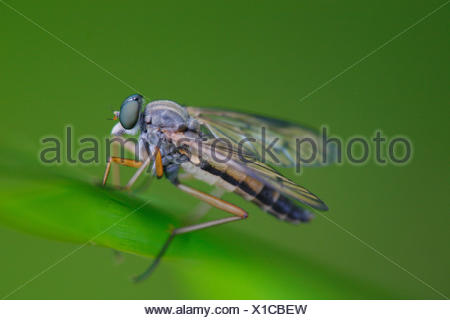 Fly, blade grass, diptera, insects, grass, blade grass, nature, meadow, animal, whole body, green, blur, - Stock Photo