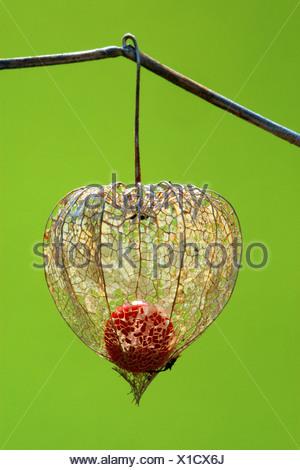 Chinese lantern, Japanese lantern, winter cherry, strawberry tomato (Physalis alkekengi var. franchetii, Physalis franchetii), fruit - Stock Photo