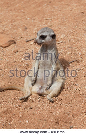 male suricata sits on sand - Stock Photo