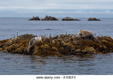 Two Harbor seals rest on a rock off the shore of  Kukak Bay, Katmai National Park, Alaska, Summer - Stock Photo