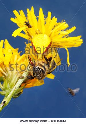 Veraenderliche Krabbenspinne, Veraenderliche Krabben-Spinne (Misumena vatia), mit Beute auf einem gelb bluehenden Korbbluetler,  - Stock Photo