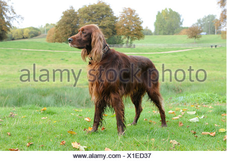 A well trained red setter dog standing alert - Stock Photo